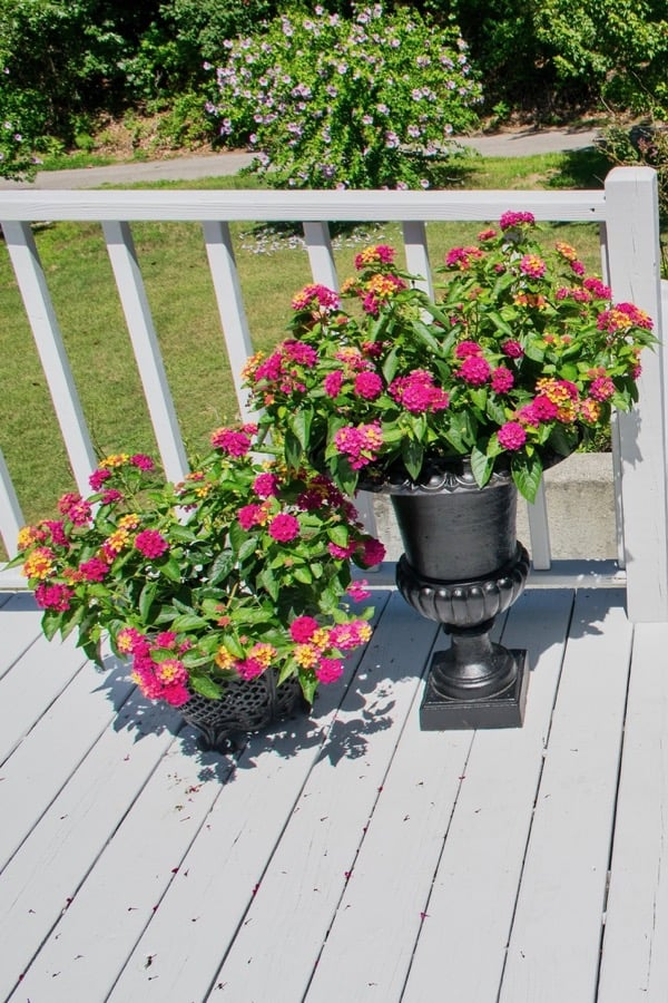 Back deck painted SW zircon blue with railings painted SW Extra White and bright red geraniums.